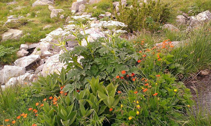 Високо-планински цветя