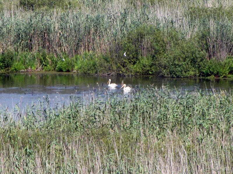 Пеликани в резервата Сребърна