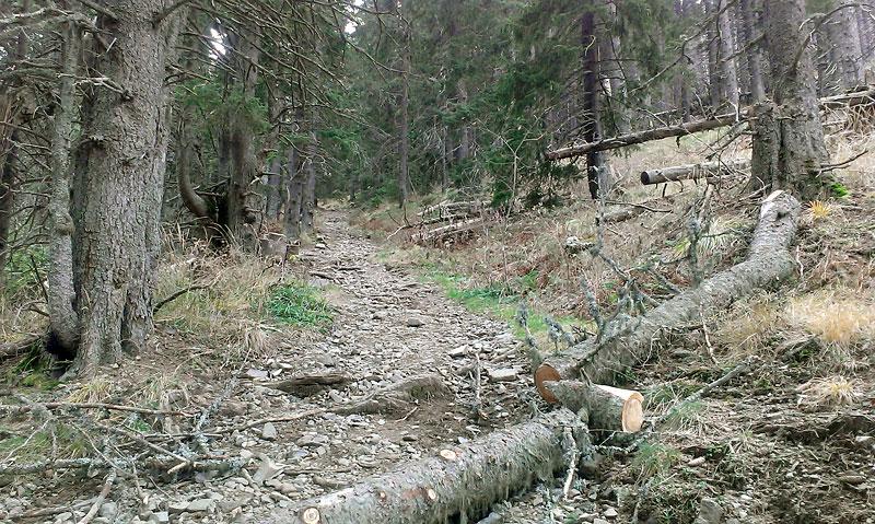 В началото на пътеката за връх Ком - през иглолистната гора