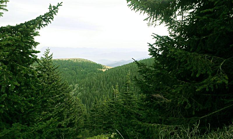 По пътеката за връх Ком - хубава гледка между елите