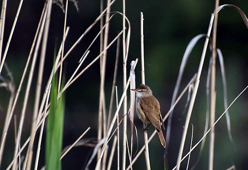 Тръстиково шаварче (Acrocephalus arundinaceus)