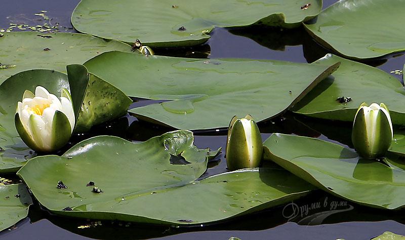 Красивите водни лилии