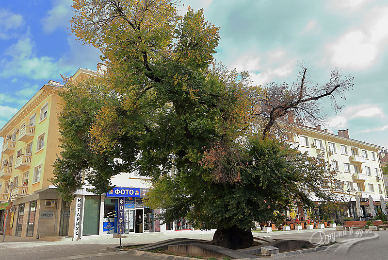 Сливен: Старият бряст
