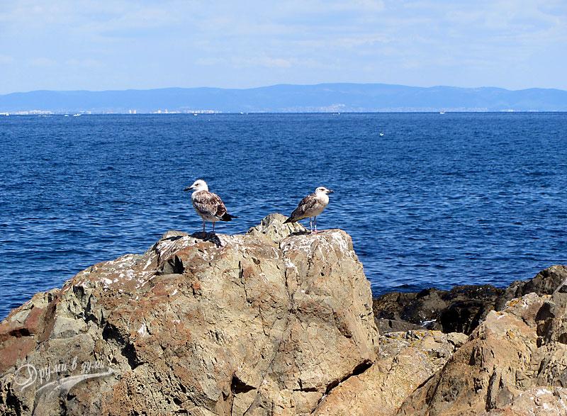 Остров Свети Иван: чайките