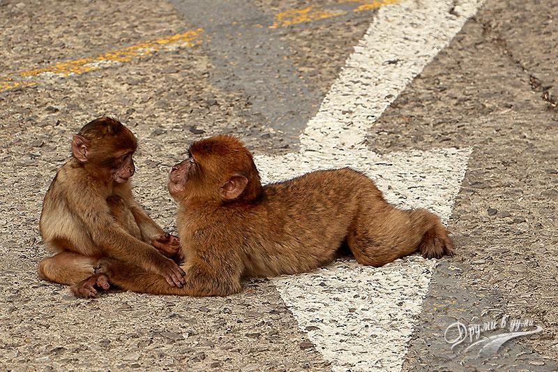 Гибралтар: маймунките