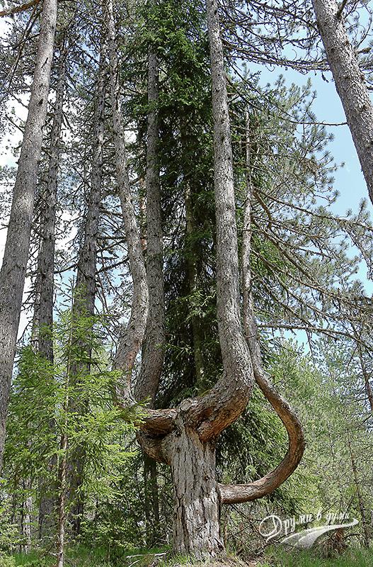Дървото на Орфей